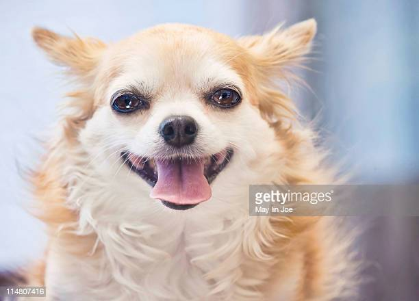 Smiling chihuahua dog