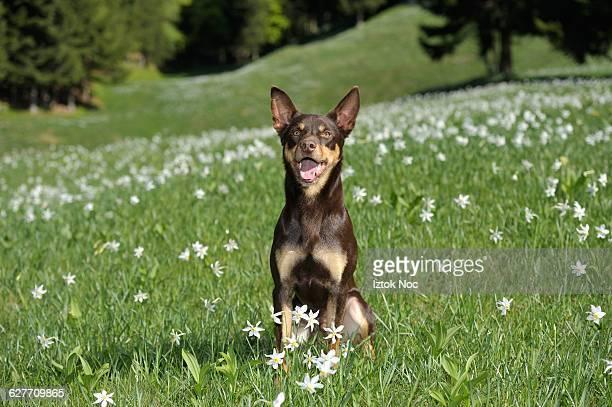 smiling dog australian kelpie - オーストラリアンケルピー ストックフォトと画像