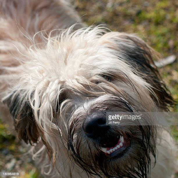 smiling dog - soft coated wheaten terrier stock photos and pictures