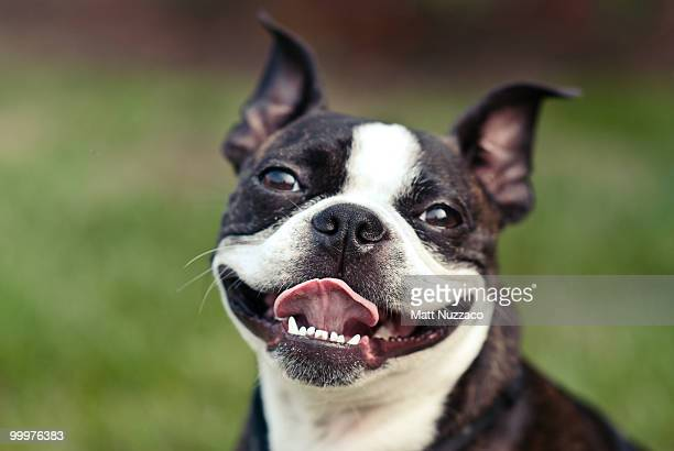 smiling dog - boston terrier stock pictures, royalty-free photos & images