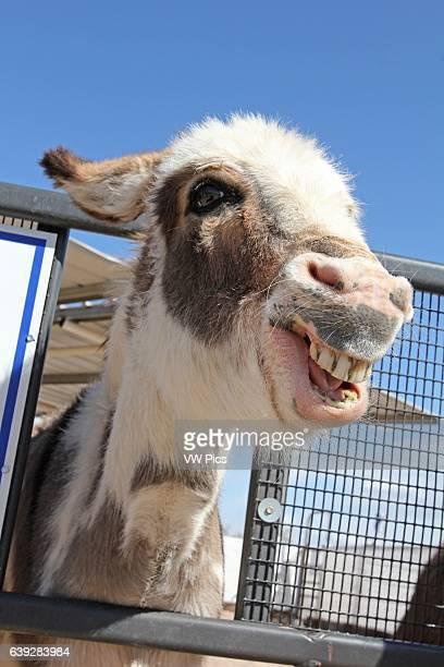 Smiling Donkey Equus africanus asinus