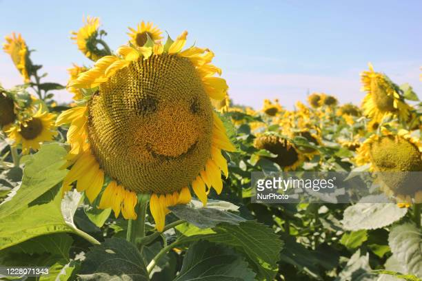 Smiling face on a sunflower growing in a farmer's field in Stouffville Ontario Canada on August 15 2020