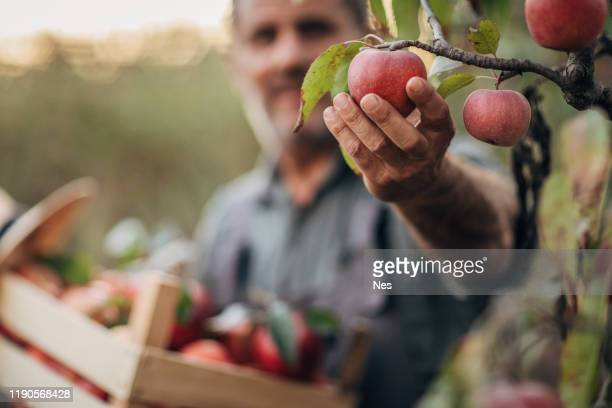 a smiling farmer picks a ripe apple - apple harvest stock pictures, royalty-free photos & images