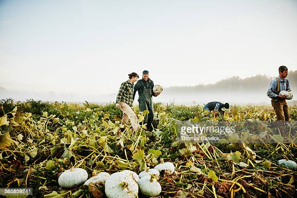 Smiling farmers harvesting organic squash in field