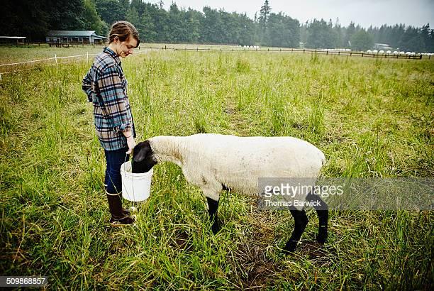 smiling female farmer feeding sheep from bucket - gummistiefel frau stock-fotos und bilder