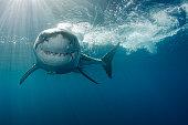 Smiling Great white shark