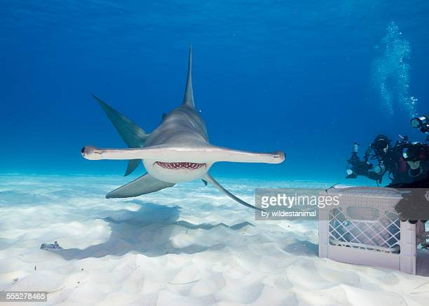smiling hammerhead - hammerhead shark stock pictures, royalty-free photos & images