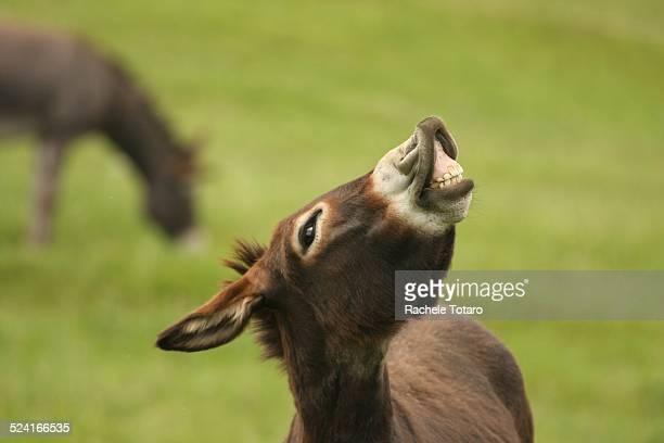 Smiling happy donkey