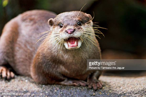 smiling happy otter - otter stock photos and pictures