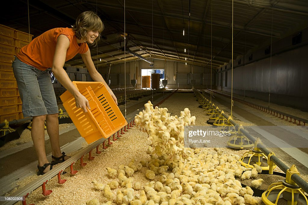 Smiling Laborer Working on a Chicken Farm : Stock Photo