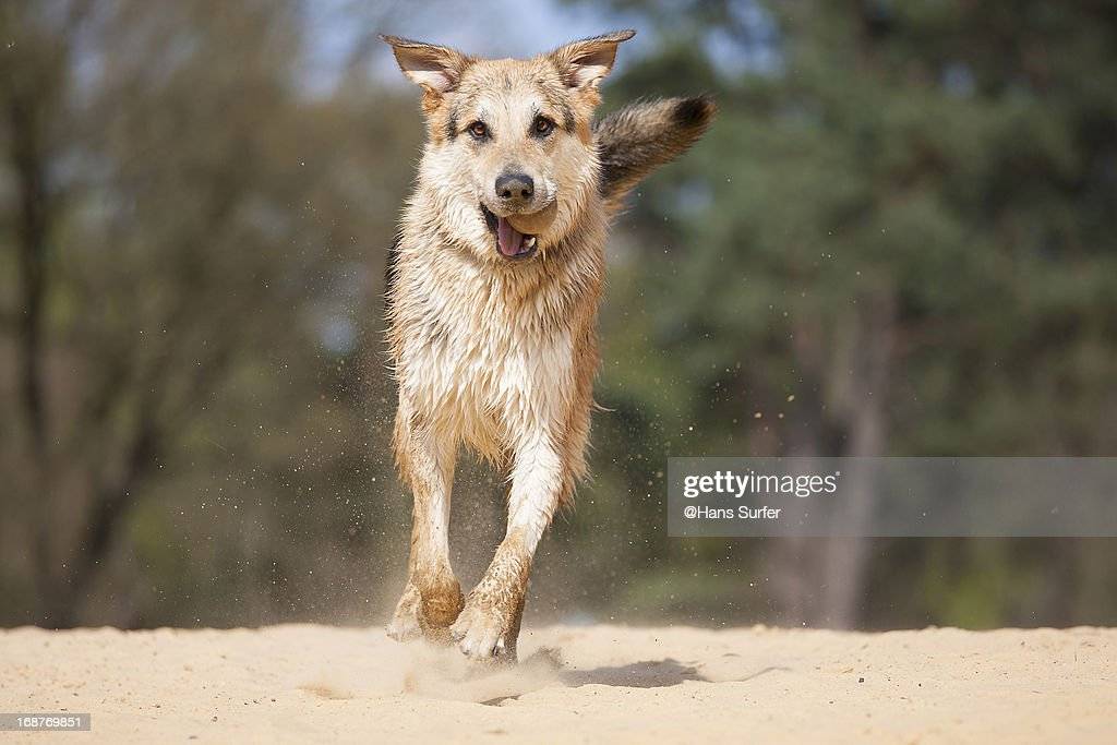 a smiling labradorgerman shepherd mix ストックフォト getty images