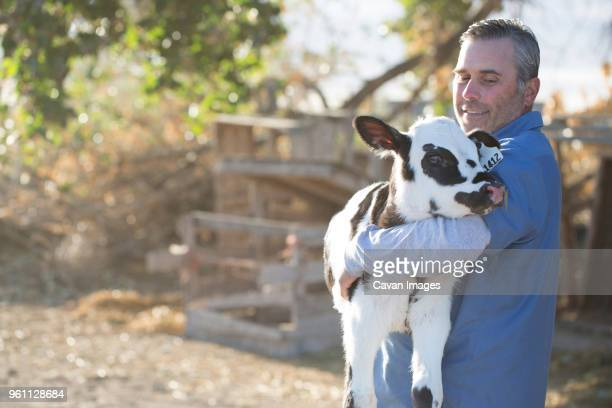 smiling man carrying calf while standing on field in farm - un seul animal photos et images de collection