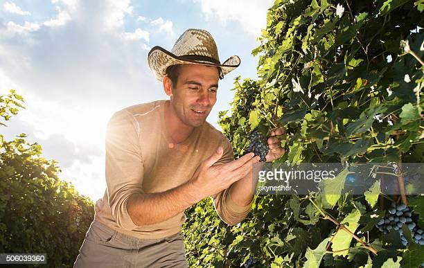 Smiling man looking at grapes in vineyard.