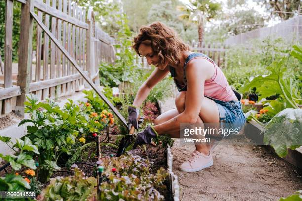 smiling mid adult woman collecting vegetables from raised bed in community garden - mid adult women stock pictures, royalty-free photos & images