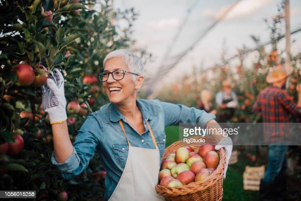 smiling old woman picking apples - recreational pursuit stock pictures, royalty-free photos & images