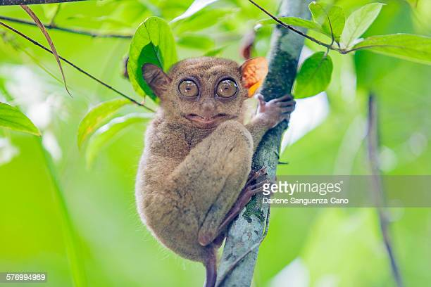 smiling philippine tarsier - tarsier stock photos and pictures