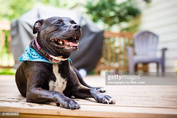 smiling pitbull - american pit bull terrier stock pictures, royalty-free photos & images