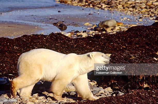 Smiling Polar Bear Arctic