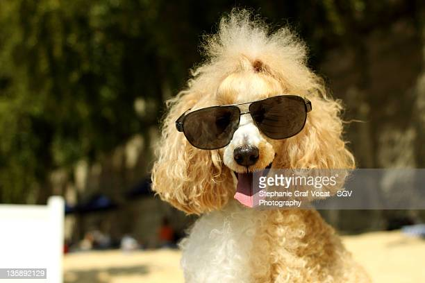 Smiling poodle wearing sunglasses on beach