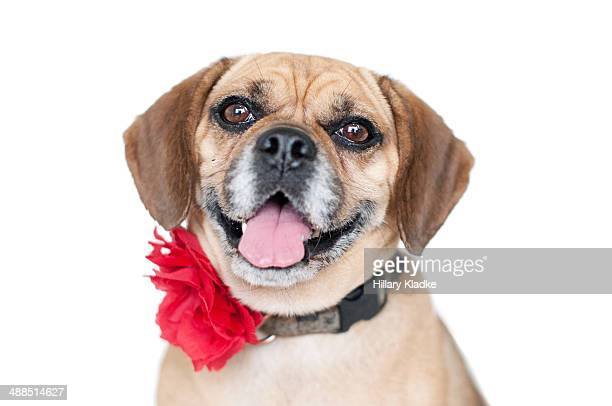smiling puggle - puggle stock pictures, royalty-free photos & images