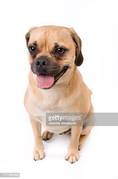 Smiling Puggle Puppy Dog Panting on White