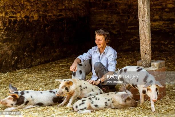 smiling senior woman sitting in barn with gloucester old spot pigs. - só uma mulher idosa imagens e fotografias de stock