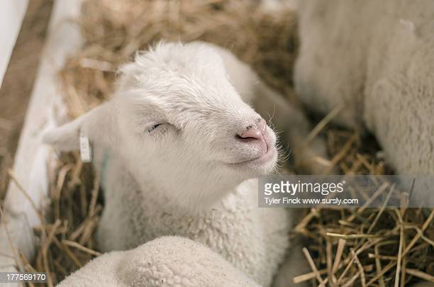 smiling sheep - sursly stock pictures, royalty-free photos & images