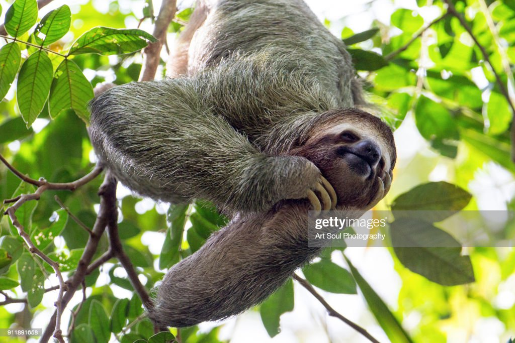 smiling sloth hanging in a tree : Stock Photo