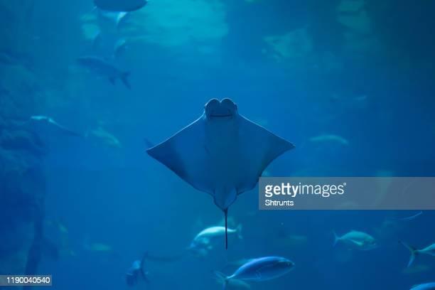 smiling stingray swims in aquarium underwater photo - dasiatide foto e immagini stock