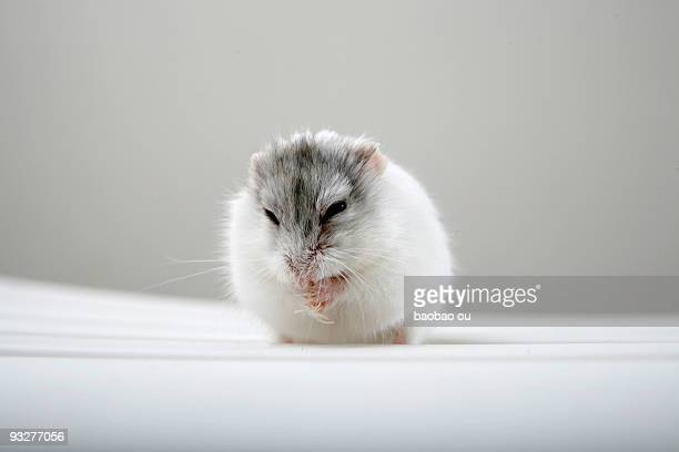 smiling white hamster - hamster photos et images de collection