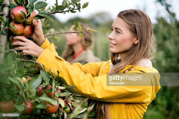 smiling woman harvesting apples from tree - organic farm stock pictures, royalty-free photos & images