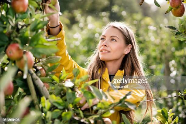 smiling woman harvesting apples from tree - apfelbaum stock-fotos und bilder