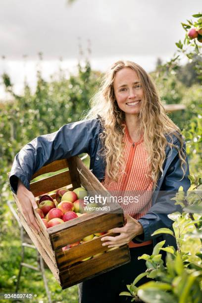 smiling woman harvesting apples in orchard - apfelbaum stock-fotos und bilder