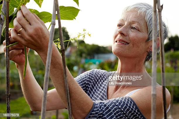 Smiling woman picking beans on an allotment