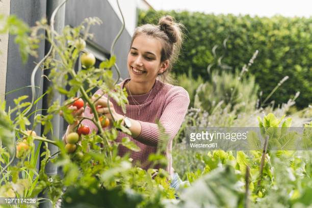 smiling woman picking cherry tomatoes in community garden - tomato stock pictures, royalty-free photos & images