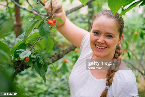 smiling woman picking red cherry in a tree in garden. - guido mieth stock pictures, royalty-free photos & images