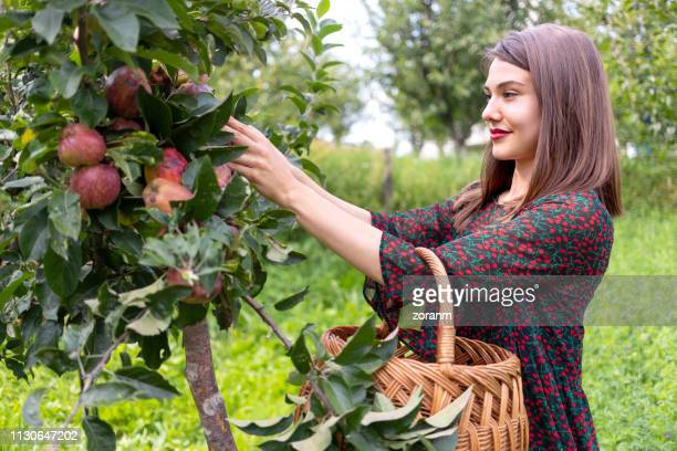 smiling woman reaching for ripe apples - female mound stock pictures, royalty-free photos & images