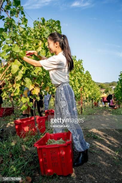 Sonriente a joven mujer China cosecha uvas