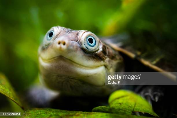 smilling turtle portrait - reptile stock pictures, royalty-free photos & images