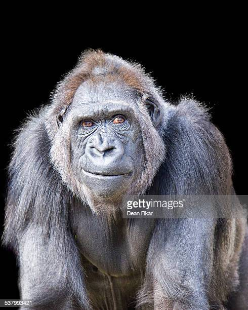 smirking gorilla - primate stock pictures, royalty-free photos & images