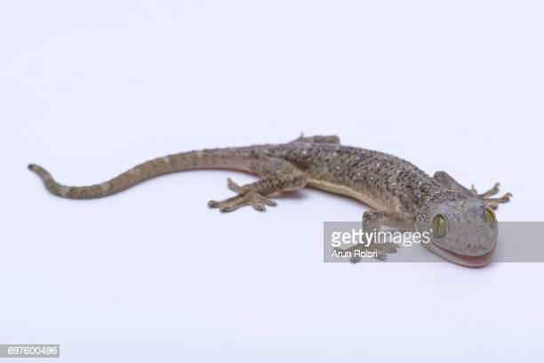 Smith's green-eyed gecko, Large forest gecko (Gekko smithii)