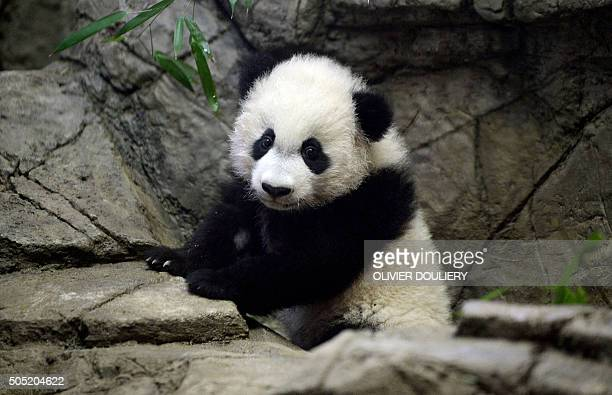 Smithsonian's youngest giant panda cub Bei Bei makes his public debut following his birth last August at the National Zoo in Washington on January 16...
