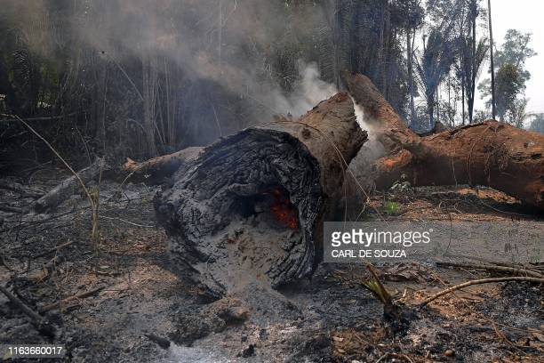 Smoke billows from a felled tree in the surroundings of Porto Velho, Rondonia State, in the Amazon basin in west-central Brazil, on August 24, 2019....