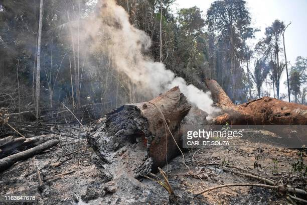 Smoke billows from the burning trunk of a tree in the surroundings of Porto Velho Rondonia State in the Amazon basin in westcentral Brazil on August...