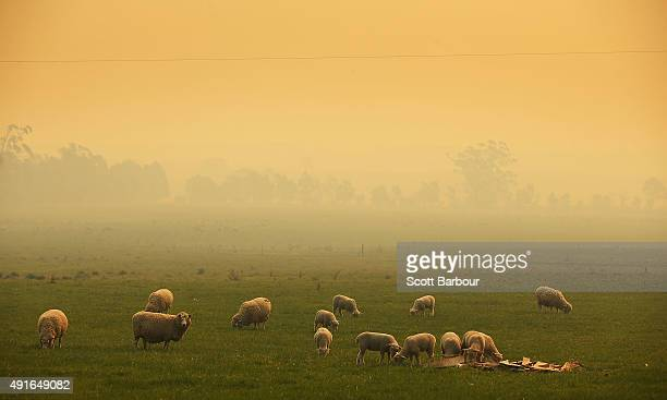 Smoke from a bushfire is seen near a field of sheep near Benloch Victoria on October 7 2015 near Melbourne Australia Victorian fire crews have been...