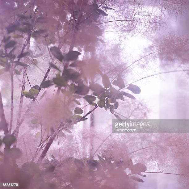 smoke tree - wasserform stock-fotos und bilder