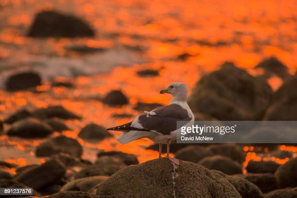 A smokefilled sky filter orange light around a sea gull as the Thomas Fire continues to grow and threaten communities from Carpinteria to Santa...