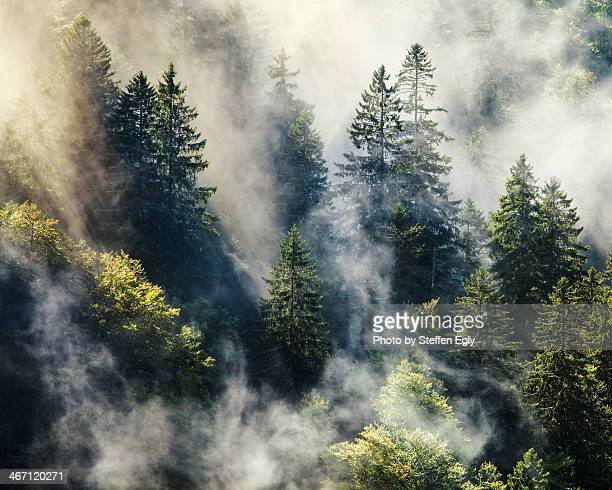 smoky forest - nebel stock-fotos und bilder