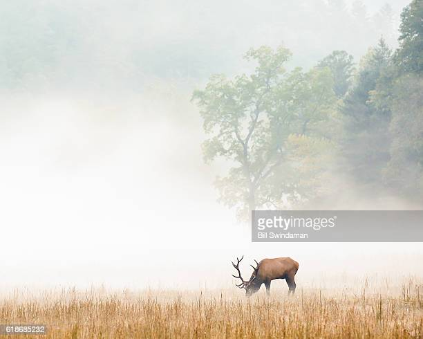 smoky mountain elk in foggy meadow in cataloochee valley - parque nacional das great smoky mountains - fotografias e filmes do acervo