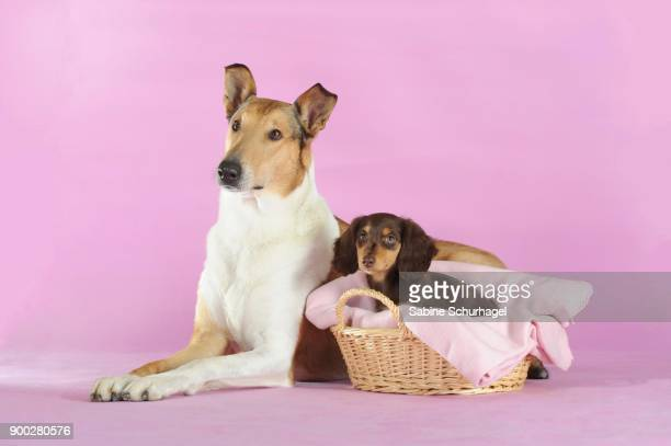 smooth collie, sable, lying, with long-haired dachshund, brown, puppy in basket - long haired dachshund stock photos and pictures